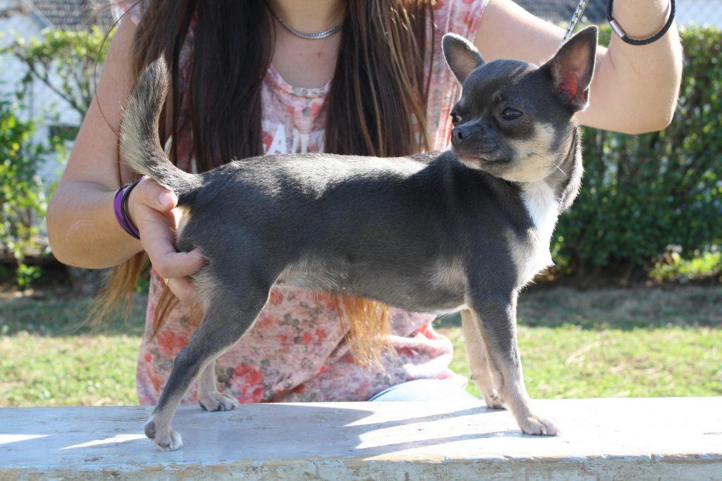 Lavande Bleu Chihuahua PC